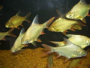 ปลาตะเพียน