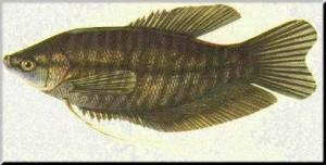 ปลาสลิด