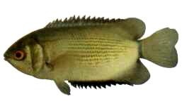 ปลาหมอตาล