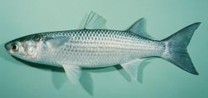 ปลาเฉา