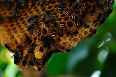 รังผึ้ง